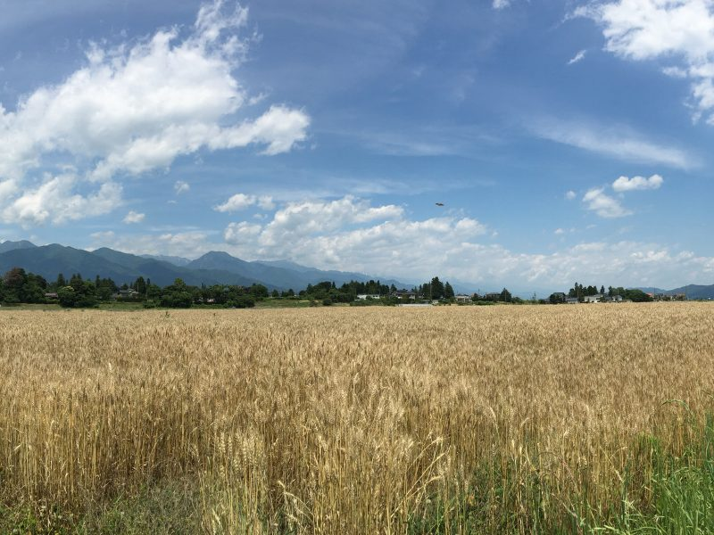 今季、安曇野小麦のスコーン 完売間近のお知らせ